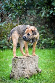 Betty, Border Terrier