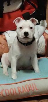 Raiju, Staffordshire Bull Terrier