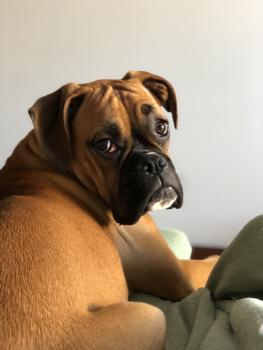 Pippa, Boxer