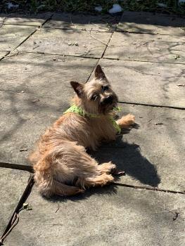 Tosca, Cairn Terrier