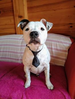 Roudy, Staffordshire Bull Terrier