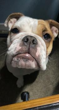 Rosie, Bulldog