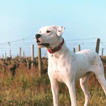 Reina Del Laska Giving a Thrill, Dogue Argentin