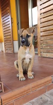 Fayna, Dogo Canario