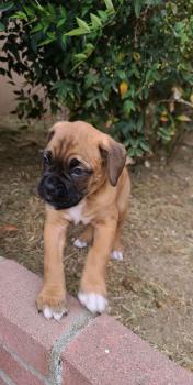 Buddy, Boxer