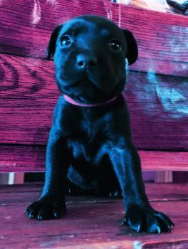 Shadow, Staffordshire Bull Terrier