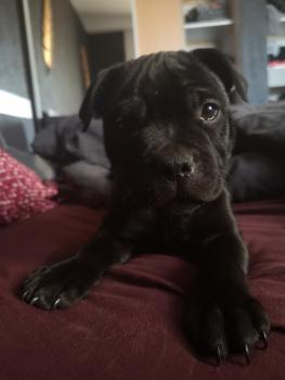 Saïko, Staffordshire Bull Terrier