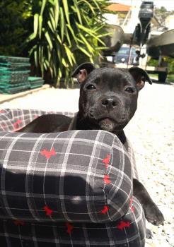 Xena, Staffordshire Bull Terrier