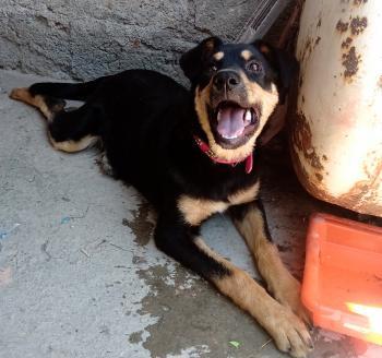 Bonnie, Rottweiler