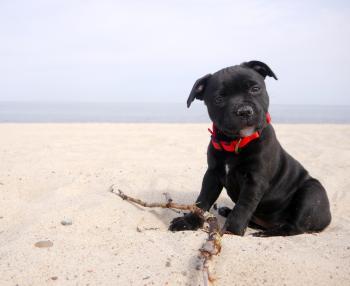 Gerdziak, Staffordshire Bull Terrier