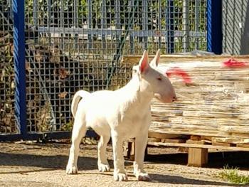 Joker, Bull Terrier