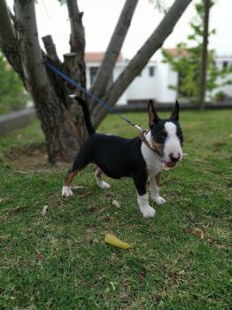 Yako, Bull Terrier