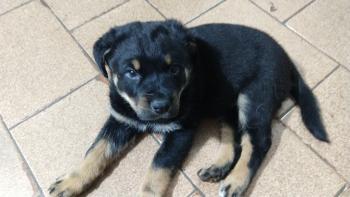 Bruce, Rottweiler
