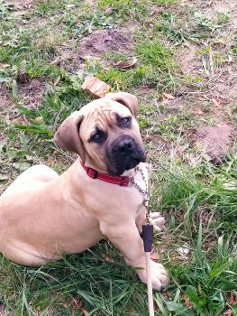 Ares, Mastiff