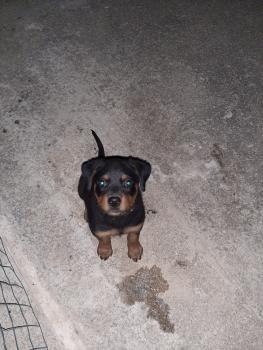 Igor, Rottweiler