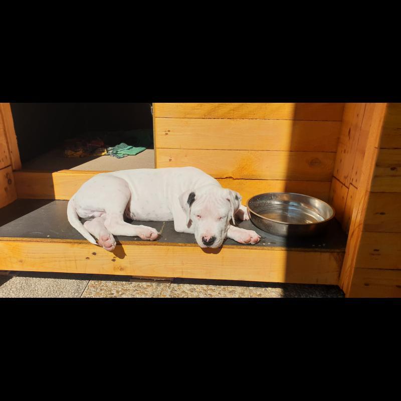 Growth Dogo Argentino - Puppy weight chart Dogo Argentino