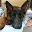 O'hara, German Shepherd Dog