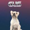 Gus, French bulldog