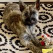 Paloma, Cairn Terrier