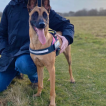 Shelby, Malinois Shepherd Dog