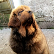 Booba, Dogue du Tibet