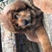 Louna, Tibetan Mastiff