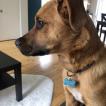 Scooby-Doo, Labrador