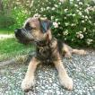 Scotty, Border Terrier