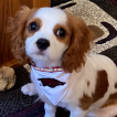 Tater Tot, Cavalier King Charles