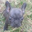 Roxy, French bulldog