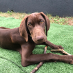 Mango, German Shorthaired Pointer
