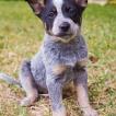 Juniper, Australian Cattle Dog