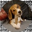 Puto, Beagle
