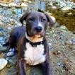 Rocky, American Staffordshire Terrier