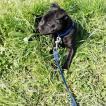 Tayson, Staffordshire Bull Terrier