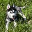 mikasa, Husky Siberien