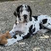 Sirius, German Mastiff