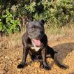 Lilith, Staffordshire Bull Terrier