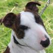 Max, Bull Terrier