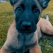 Karma, Malinois Shepherd Dog