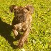 Loki, Mastiff