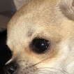 She-Ra, Chihuahua